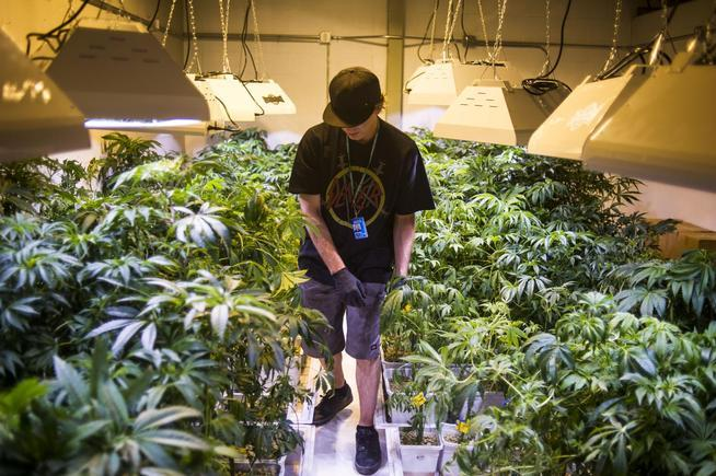 Steve Herin, a master grower at Incredibles, works on repotting marijuana plants in a grow facility last August in Denver. (Denver Post file)