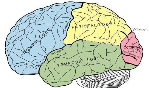 BrainDiagramImageMysidViaWikimediaCommons