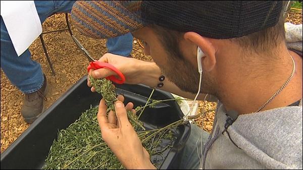 A bud trimmer at a medical marijuana operation near Vancouver, Washington. Image via KOMONews.com