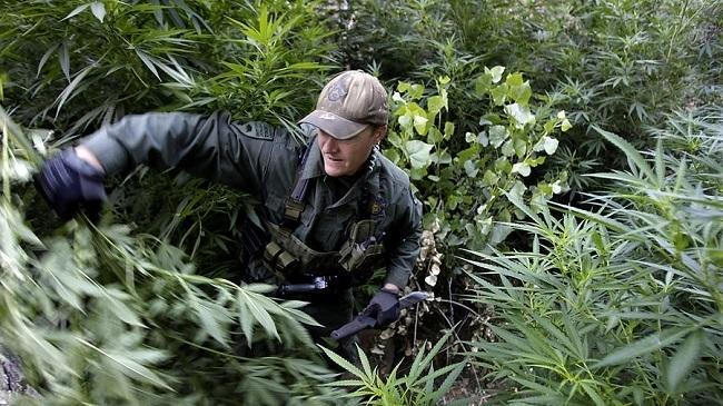 A warden with the California Department of Fish and Wildlife hacks down pot plants found growing in a deep ravine in the Sierra Nevada foothills. (Luis Sinco / Los Angeles Times)