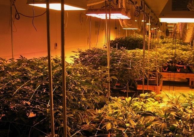 Cannabis under grow lights at a Denver facility. Image: WeedWorthy.com