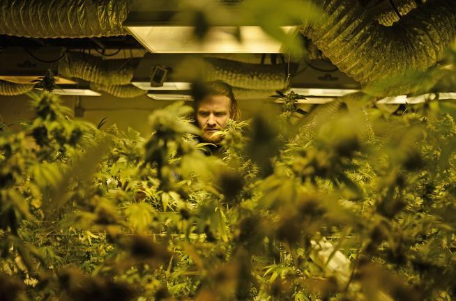 Robert Grandt works in the grow room at 3D Cannabis Center in Denver on March 11. Marijuana growing facilities contributed to the city's energy use increase. (RJ Sangosti, The Denver Post)