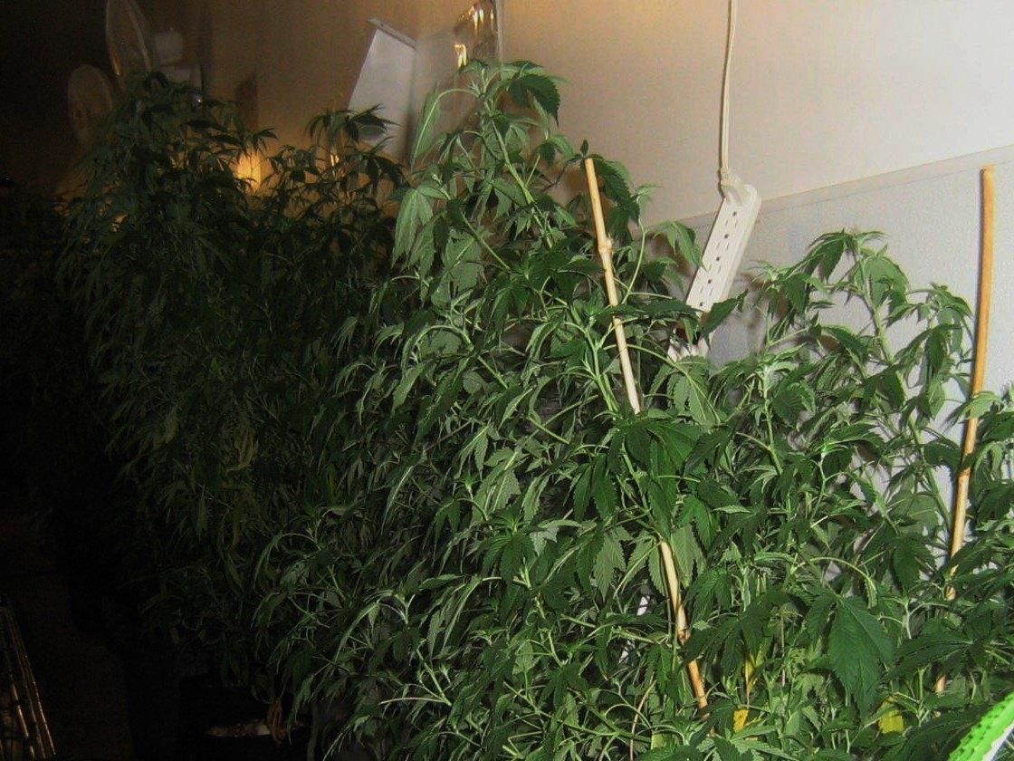 Cannabis plants at a Denver grow facility. Image: WeedWorthy.com