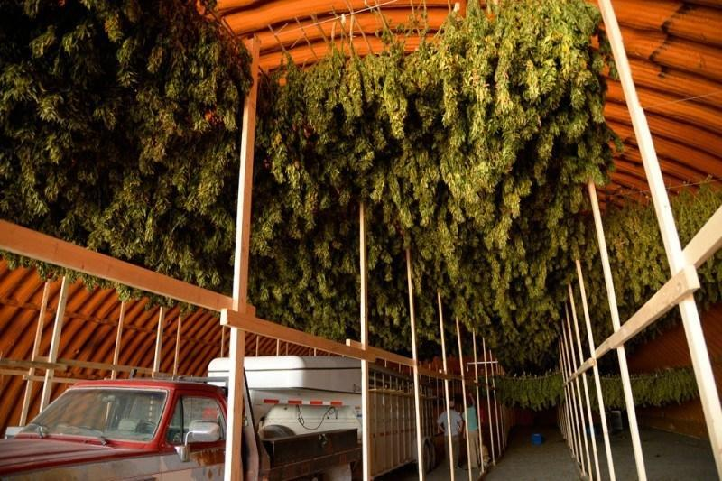 Image of medical marijuana curing to make cannabidiol oil