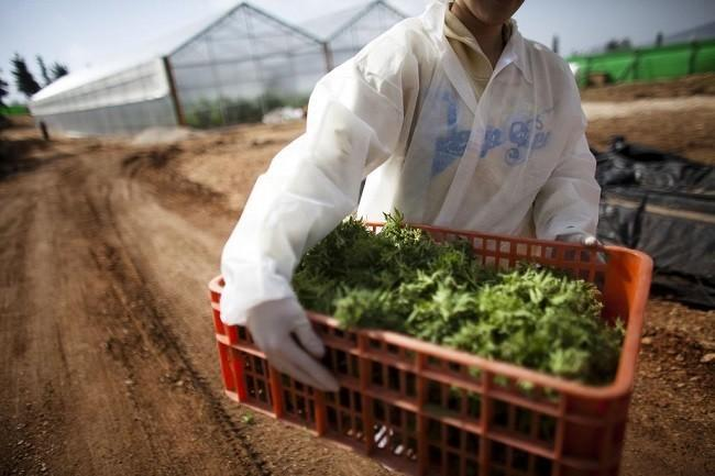 A worker carries medical marijuana at a growing facility near Safed, Israel in 2011. Uriel Sinai, Getty Images via GlobalPost.com