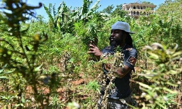 Image of Cannabis farmer in Jamaica