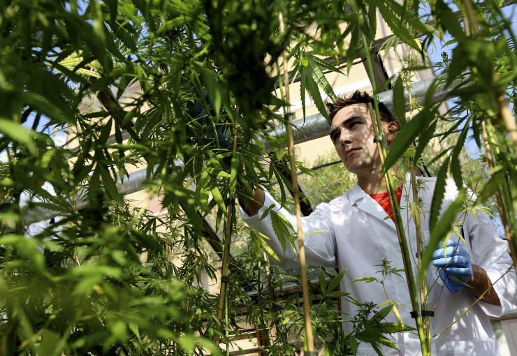The study of marijuana as a possible treatment for post-traumatic stress disorder has faced a number of hurdles. Here, a production assistant examines marijuana plants. Reuters/Alessandro Bianchi