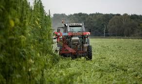 Image of industrial hemp being harvested