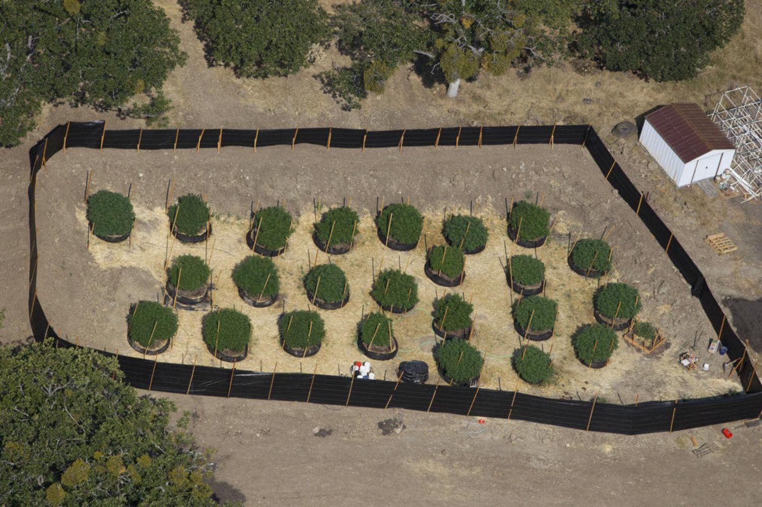 Image of an Oregon legal outdoor medical marijuana grow.