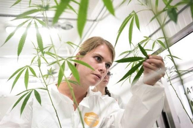Sarah Stuive, biological control consultant, checks for bugs at Bedrocan Canada, a medical marijuana facility, in Toronto on Monday, August 17, 2015. Image: THE CANADIAN PRESS/Darren Calabrese