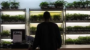 Image of Marijuana plants on display at a dispensary in Oakland