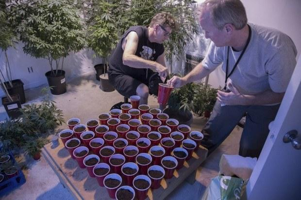 Mark Arnold, left, and Mark Greenshields attend to pot cuttings in the clone room at AuricAG.