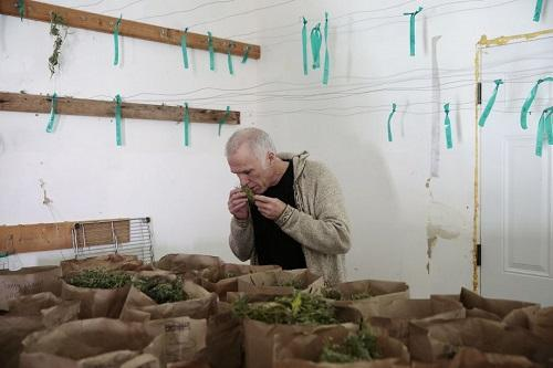 Tim Blake, founder of the Emerald Cup cannabis competition, smells a sample of his Berry White strain of marijuana in a drying room at his farm. Image: Ramin Rahimian, Special to the Chronicle