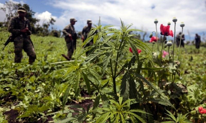 """Slumping demand for Mexican """"brick weed"""" has more drug farmers turning to growing opium poppies for heroin production."""