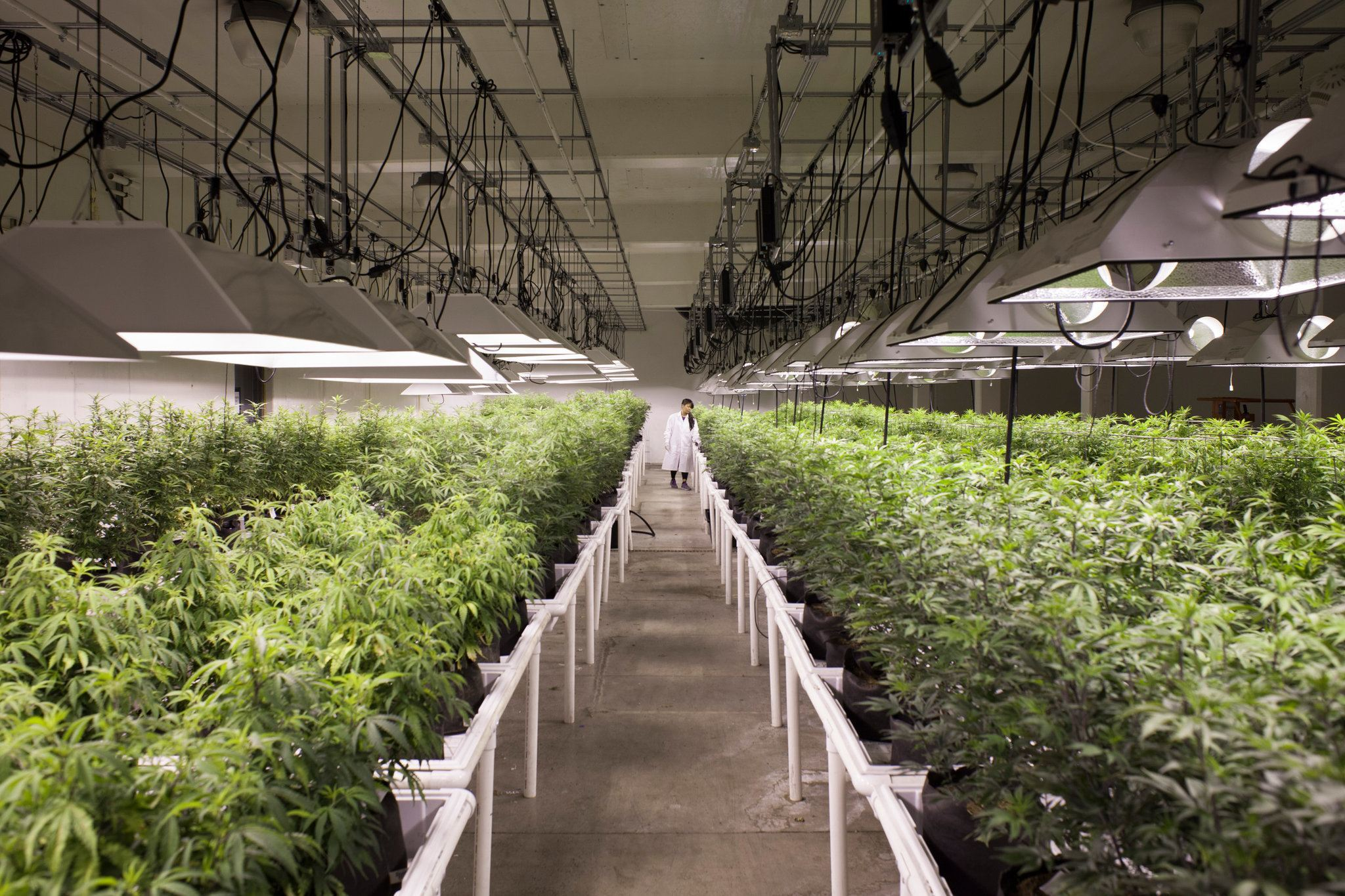 Image of an indoor legal medical marijuana grow in Washington State.