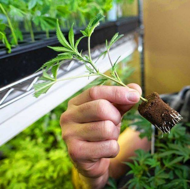 Image of a young marijuana plant ready for transplanting