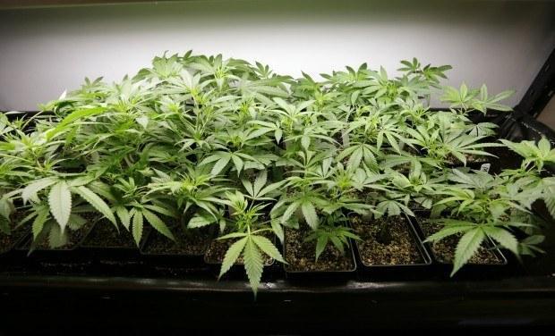 Image of young marijuana plants