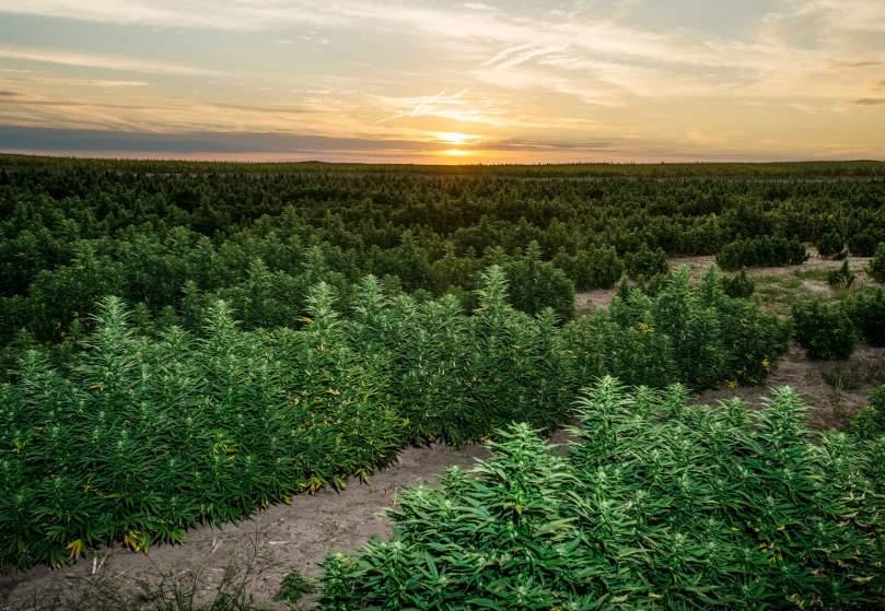 Image of a Charlotte's Web marijuana crop legally growing in Colorado
