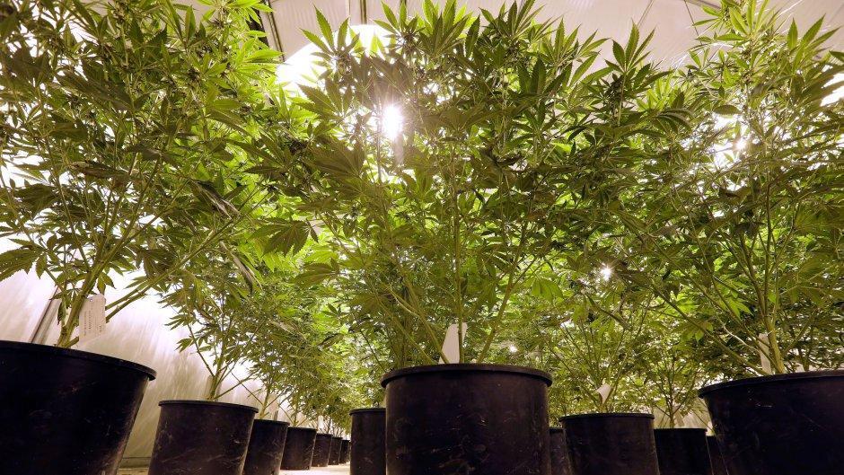 Image of marijuana legal grow op