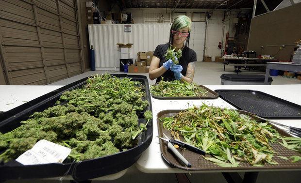 Image of marijuana being proccessed